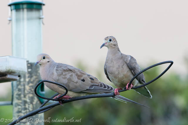 Mourning Dove with Juvenile
