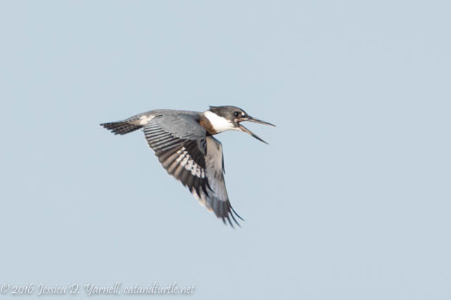 Belted Kingfisher in Flight at Orlando Wetlands