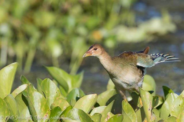 Juvenile Purple Gallinule at Orlando Wetlands
