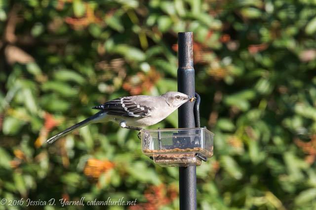Northern Mockingbird: Defender of the Mealworm Dish!