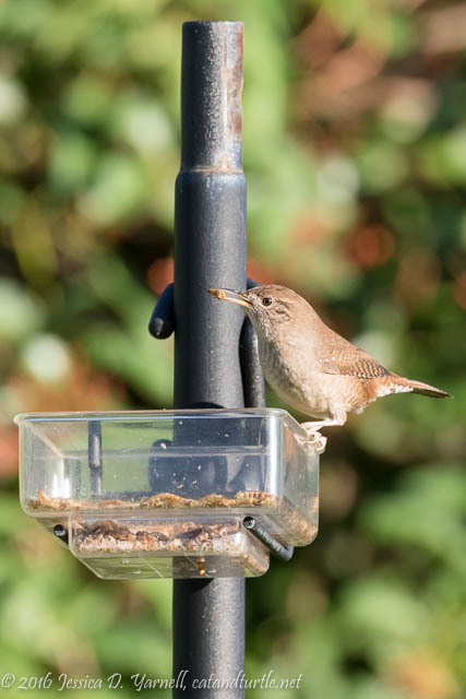 House Wren Steals a Worm (Don't tell the mockingbird!)