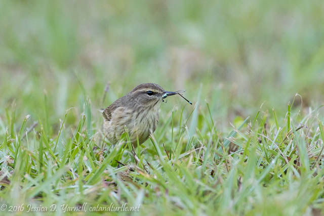 Palm Warbler with Dragonfly