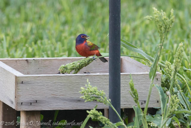 Painted Bunting discovers natural millet growing under my tube feeders