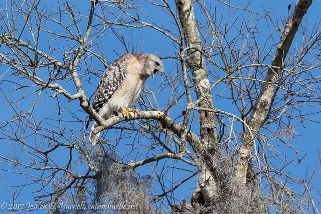 Red-shouldered Hawk at Circle B