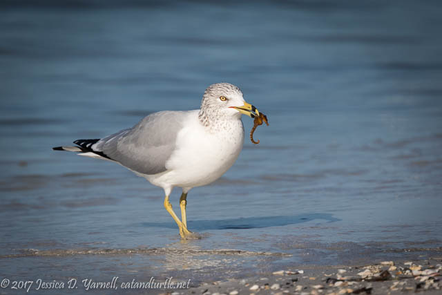 Ring-billed Gull with Seahorse