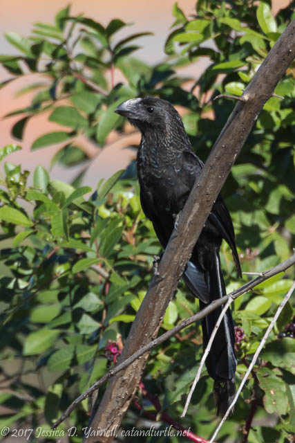 Smooth-billed Ani at Viera Wetlands