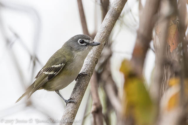 Blue-headed Vireo at Oakland Nature Preserve