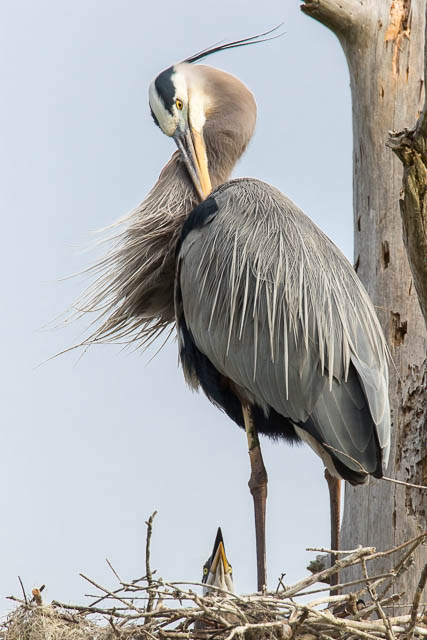 Great Blue Heron at Nest with Young