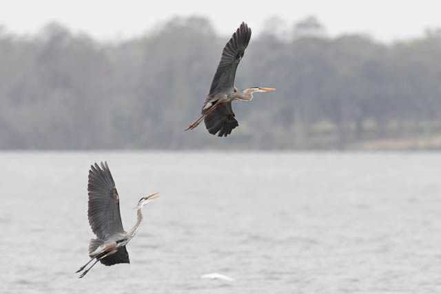 Great Blue Heron Chase