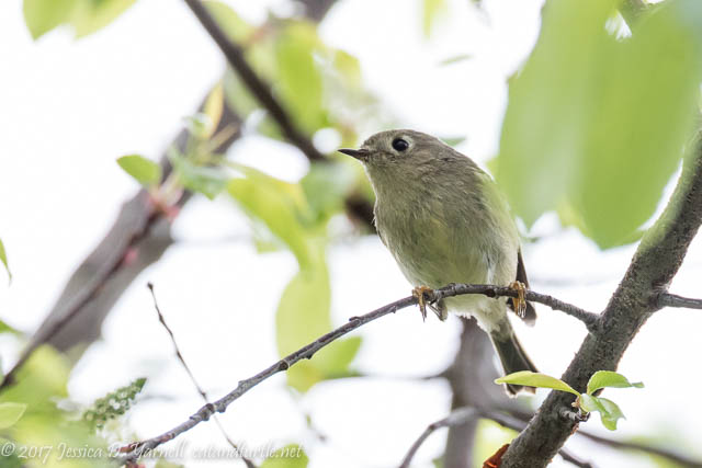 Ruby-crowned Kinglet at Oakland Nature Preserve