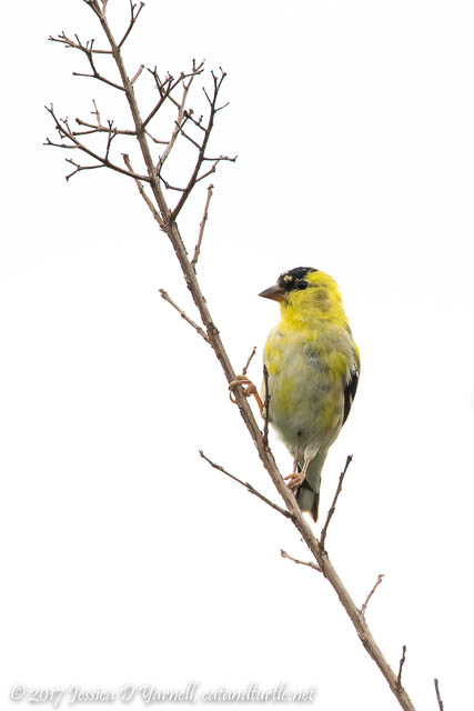 American Goldfinch on Crape Myrtle