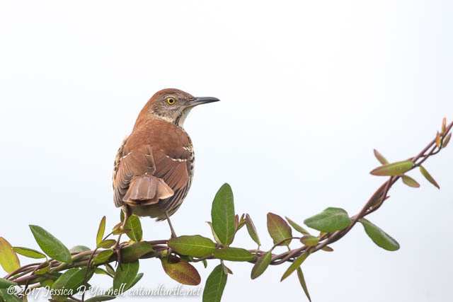 Brown Thrasher on Coral Honeysuckle