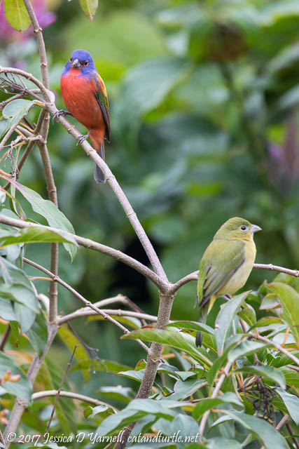 Male and Female Painted Buntings