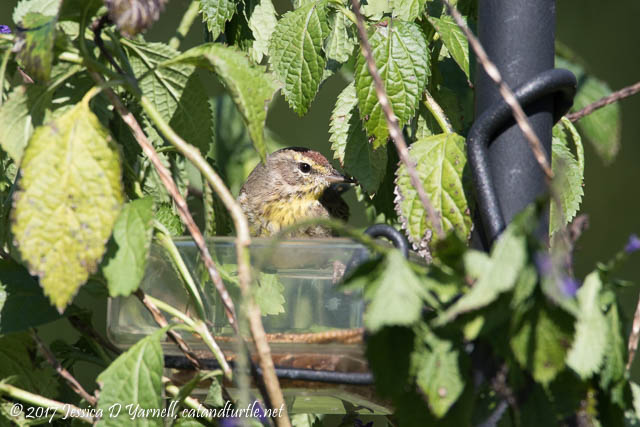 Palm Warbler with Mealworm