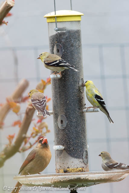 American Goldfinches with Cardinal