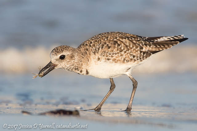 Black-bellied Plover with Crab