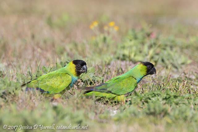 Nanday Parakeets