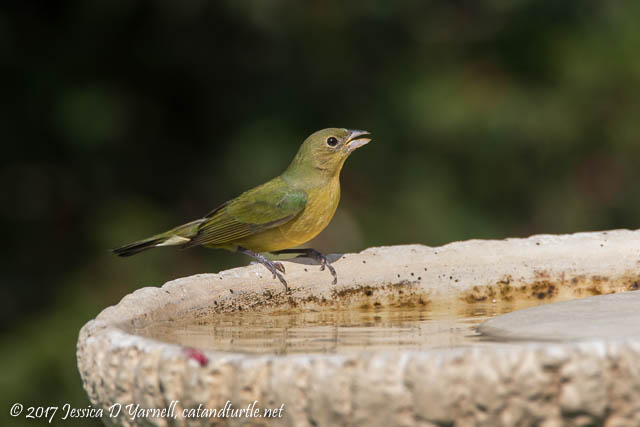 "Painted Bunting ""Greenie"" at Birdbath"