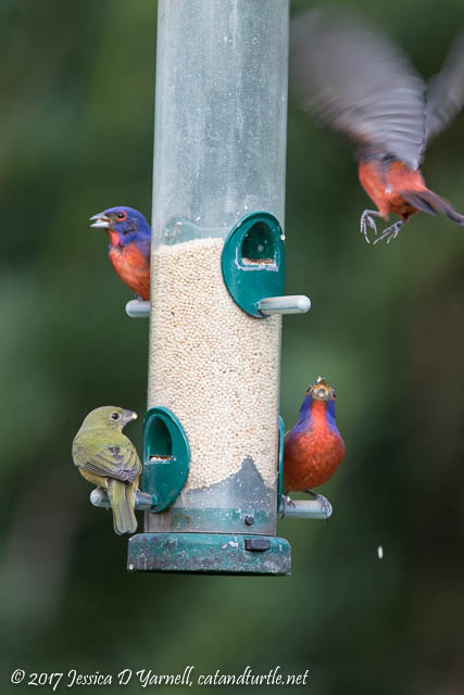 Painted Buntings at Feeder
