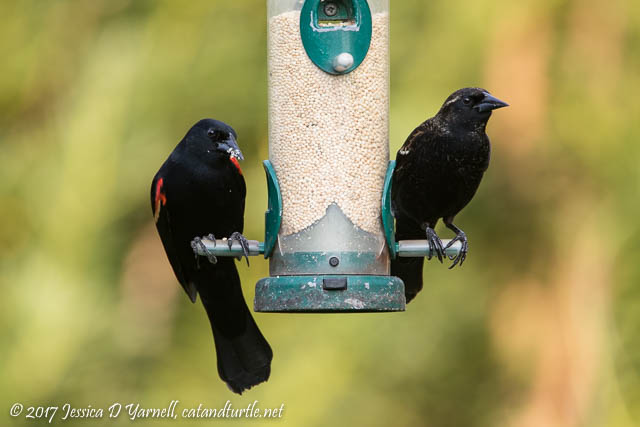 Red-winged Blackbirds (Adult on Left, Juvenile on Right)