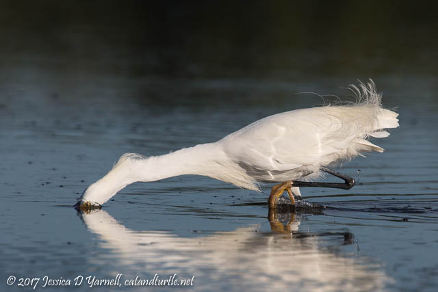 Snowy Egret on the Attack