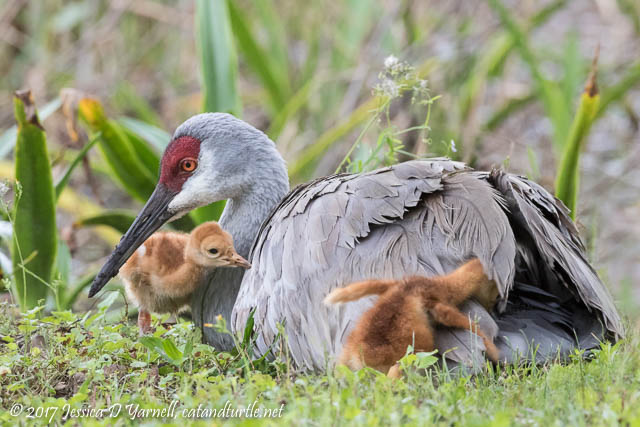 Sandhill Crane Mother & Colt