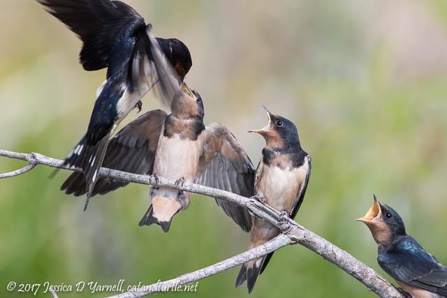 Baby Barn Swallows - The Feeding