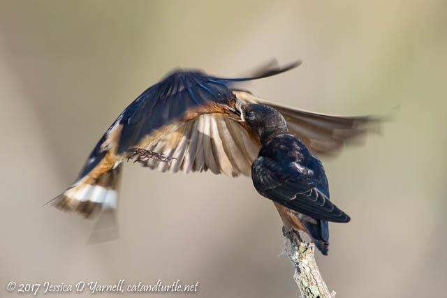 Barn Swallow Feeding Baby