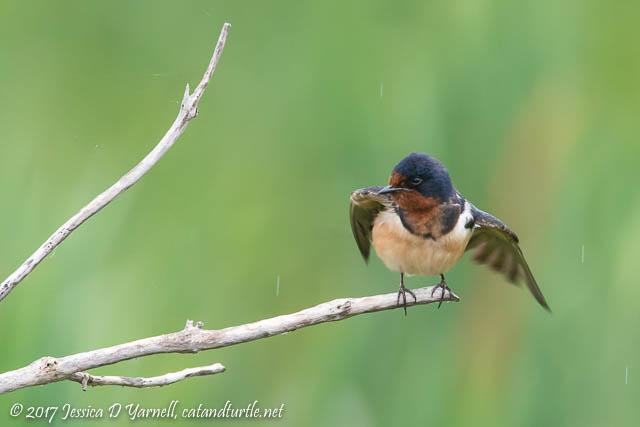 Barn Swallow Taking a Shower