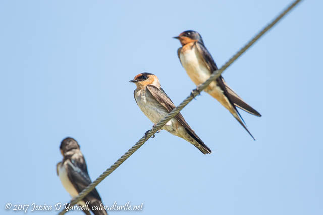 Cave Swallow (Middle)