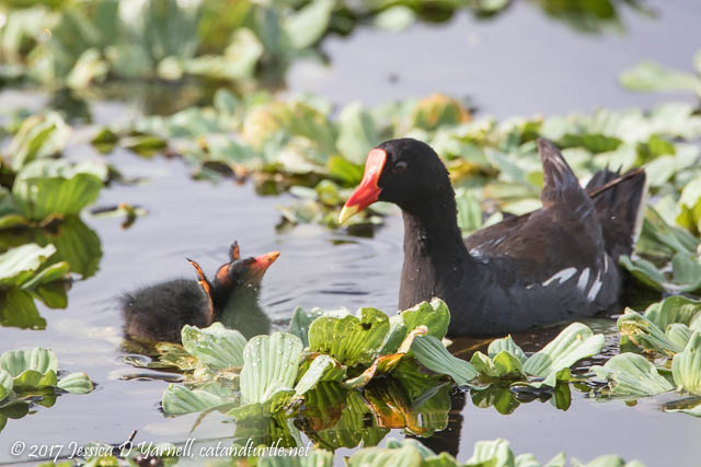 Common Gallinule Feeding Baby. Photographed on Interceptor Road.