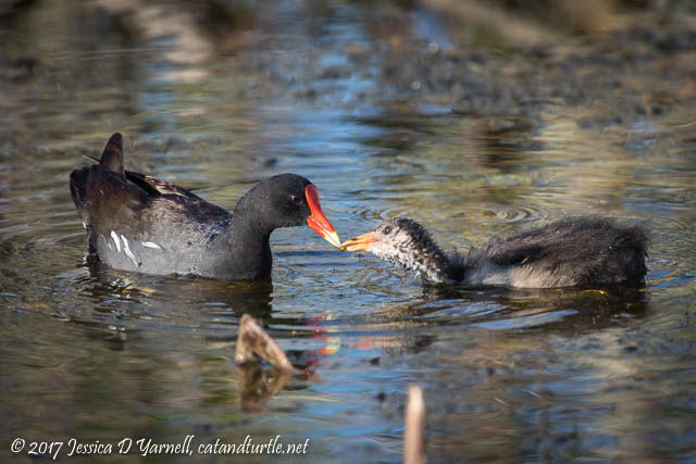 Common Gallinules Getting Older
