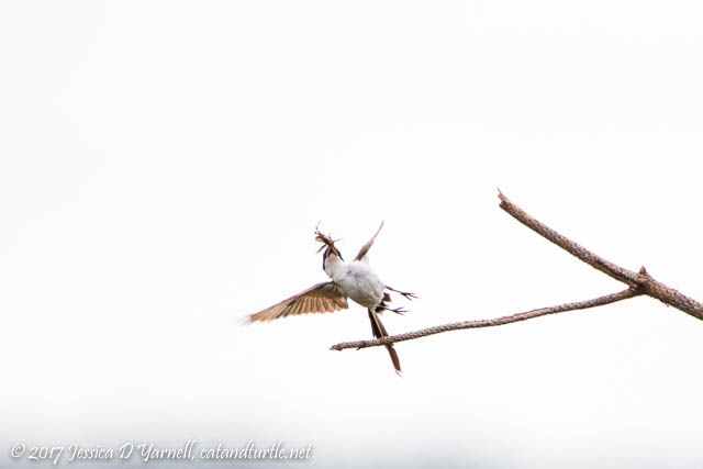 Fork-tailed Flycatching in action!  Forky didn't want to lose his breakfast.