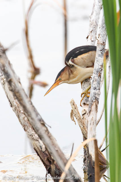 "Least Bittern #3 - In his characteristic ""Looking for Fish"" pose"