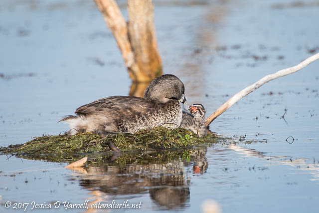 Pied-billed Grebe Babies