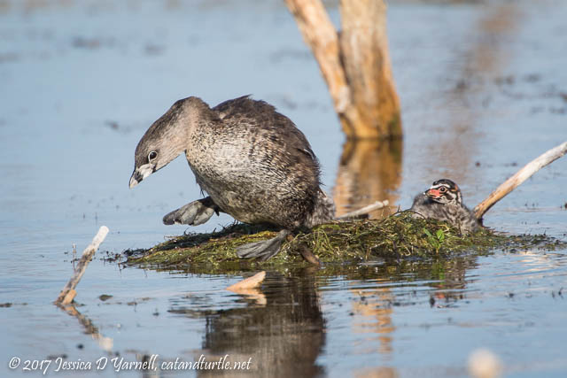 Pied-billed Grebe Mother Leaving the Nest