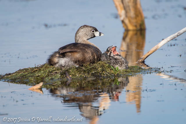 Pied-billed Grebe Baby Yawn
