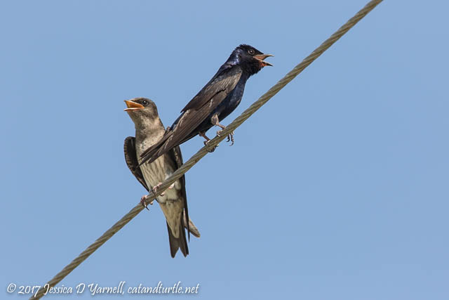 Purple Martin Pair in the Heat - Female on Left, Male on Right