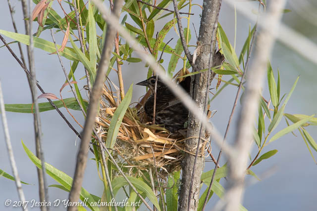 Red-winged Blackbird at Nest