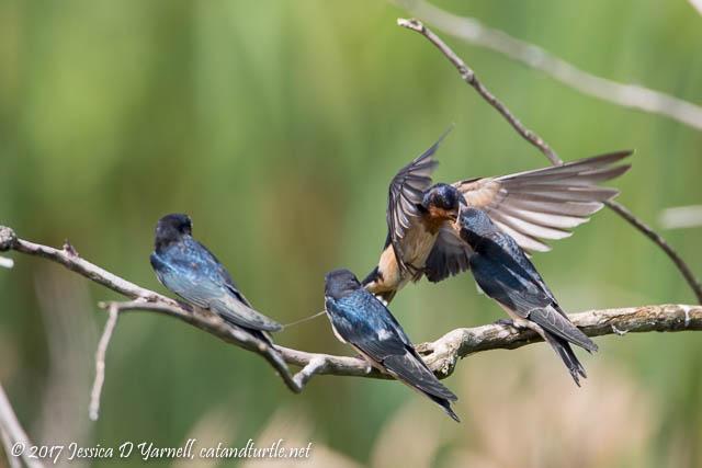 Feeding Time for the Barn Swallows at Lake Apopka Wildlife ...