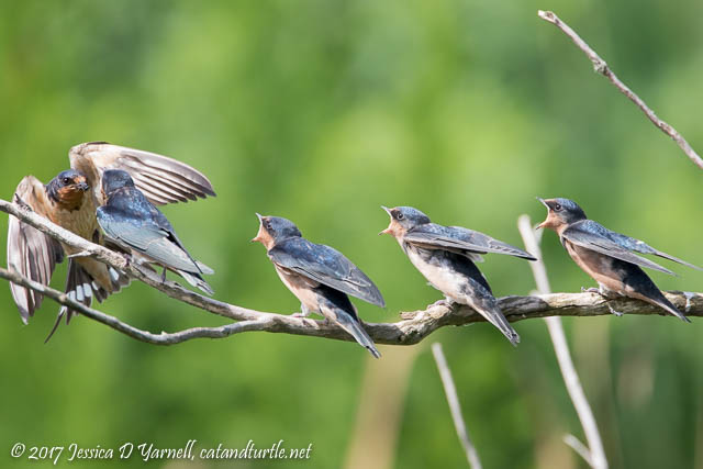 Barn Swallow Feeding Juvenile Swallows
