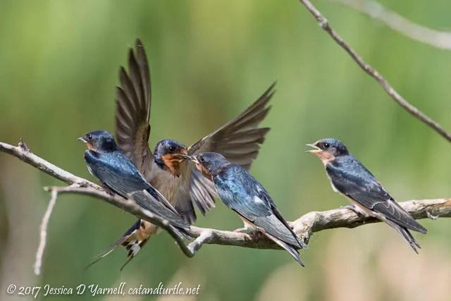 Barn Swallow Feeding Juvenile Swallows