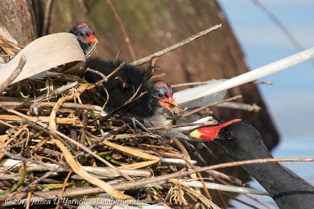Common Gallinule Feeding Babies at Nest