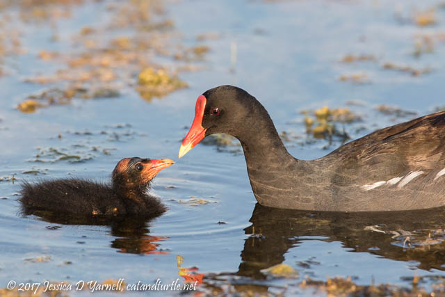 Common Gallinule and Baby