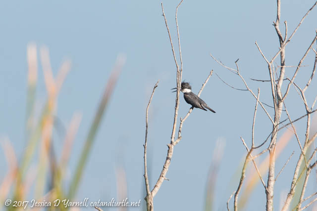 First of Fall Belted Kingfisher!