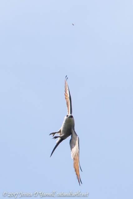 Mississippi Kite Spots a Bug