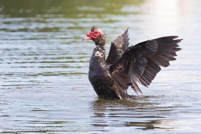 Muscovy Duck Wing Flap