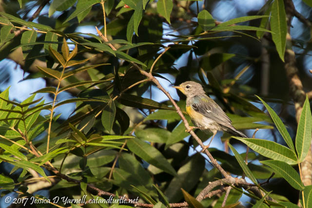 Northern Parula in the Treetop
