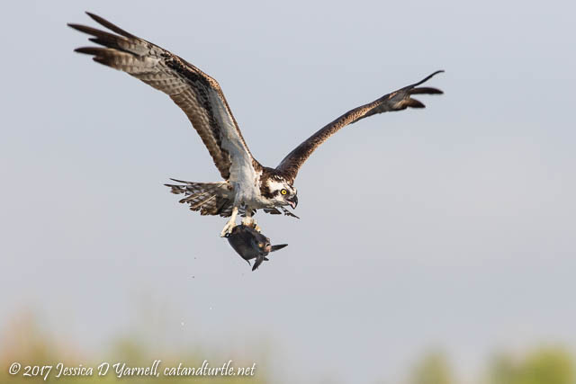 Osprey with Fish!