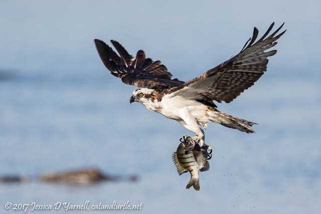 Osprey with Fish and Alligator